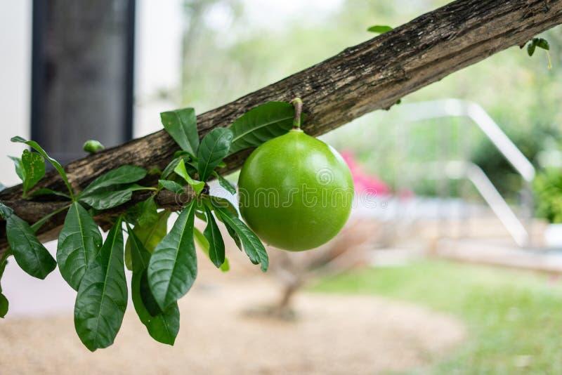 Een groene verse friut van Kalebasboomboom of Crescentia cujete, is species van bloeiende installatie die tot Centraal, Zuid-Amer royalty-vrije stock afbeeldingen