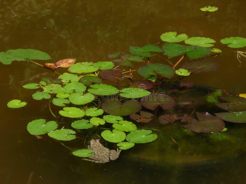 Een groene vijver met nenuphars en een pad stock afbeelding