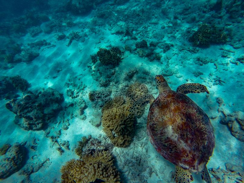 Een Groene Zeeschildpad die boven koraalrif in mooi duidelijk water, groot barrièrerif, steenhopen, Australië zwemmen royalty-vrije stock foto's
