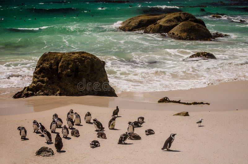 Een groep Afrikaanse demersus van pinguïnenspheniscus bij het Strand van de Kei dichtbij Cape Town stock fotografie