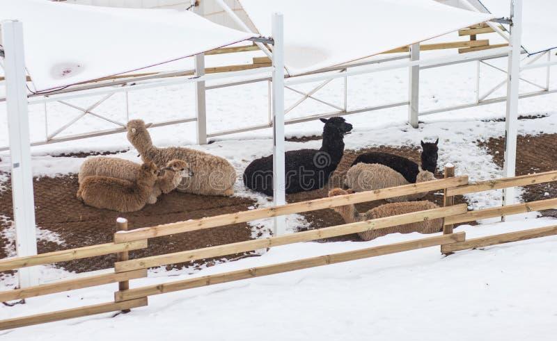 Een groep alpaca rust onder een schuilplaats tijdens de winter royalty-vrije stock afbeelding