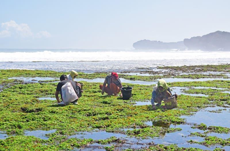 Een groep arbeiders die verzamelend zeewier dat in gefrituurde snacks voor bezoekers moet worden gemaakt hurken stock afbeeldingen
