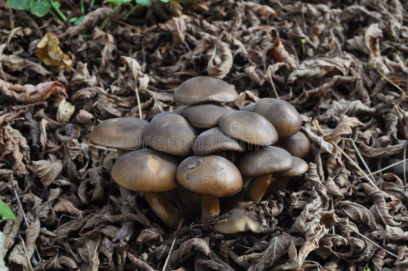 Een groep bruine paddestoelen stock fotografie