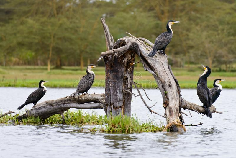 Een groep cormarant op het hout stock afbeeldingen