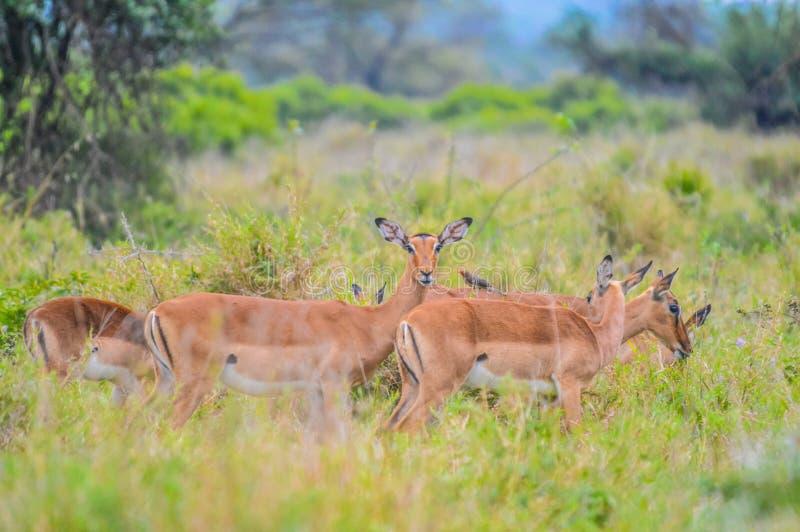Een groep die Imapala of herten in een spelreserve stellen royalty-vrije stock afbeeldingen