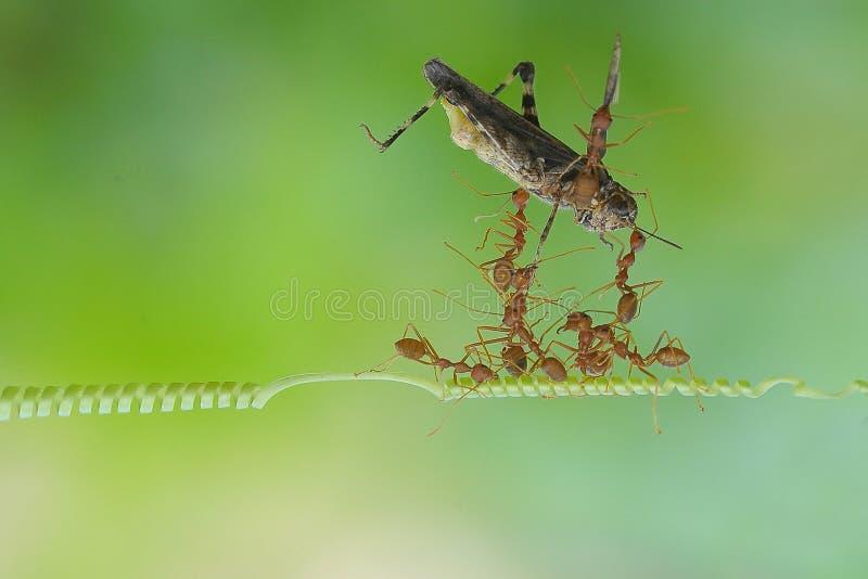 Een groep die mier samen het dragen dode sprinkhaan werken