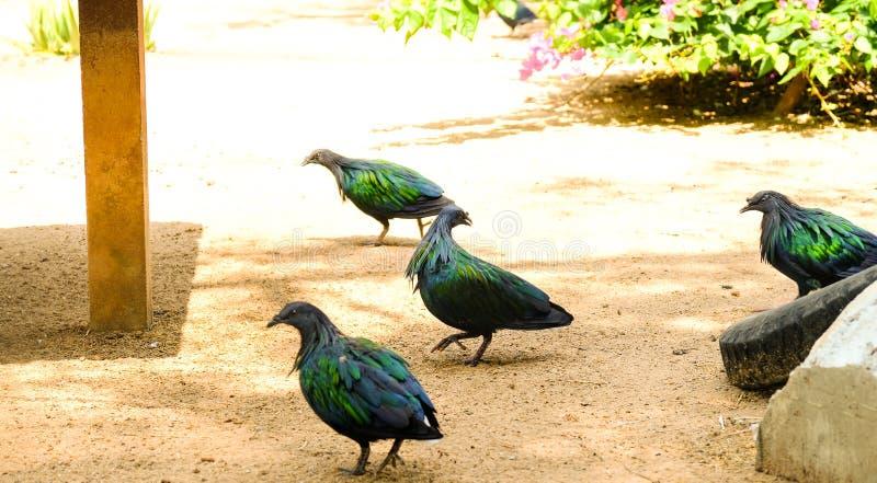 Een groep die Nicobar-duif zich op grondgrond bevinden royalty-vrije stock foto