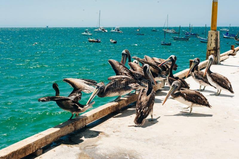 Een groep die pelikanen van een zonnige dag in het overzees genieten royalty-vrije stock foto's