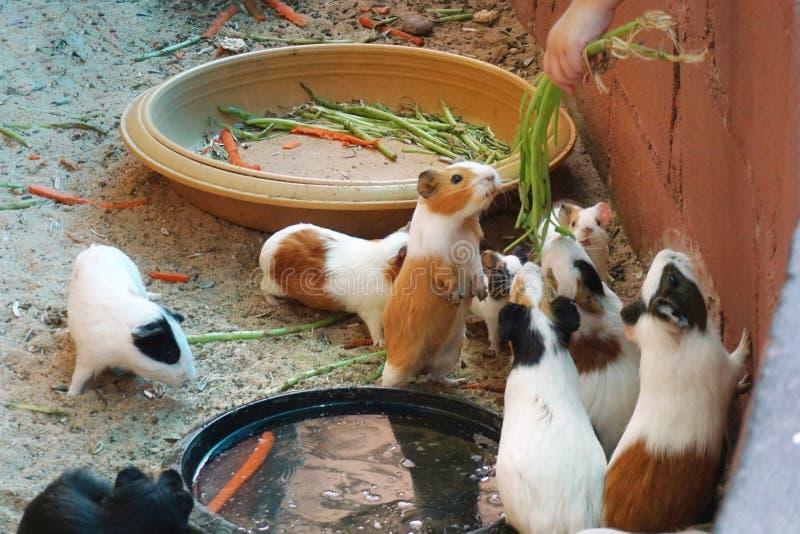 Een groep die proefkonijn wat voedsel eten royalty-vrije stock foto's