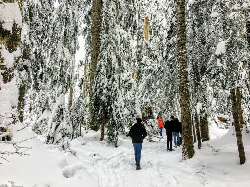 Een groep die snowshoers door een mooi, majestueus oud bos van de de groeiceder wandelen royalty-vrije stock fotografie