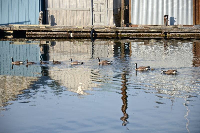 Een groep ganzen met gansjes zwemt in water stock afbeeldingen