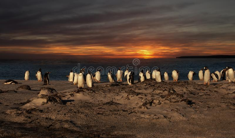 Een groep gentoopinguïnen op een zandig strand bij zonsondergang stock afbeelding