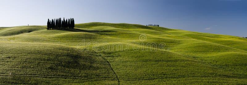 Een groep Italiaanse cipresbomen royalty-vrije stock foto
