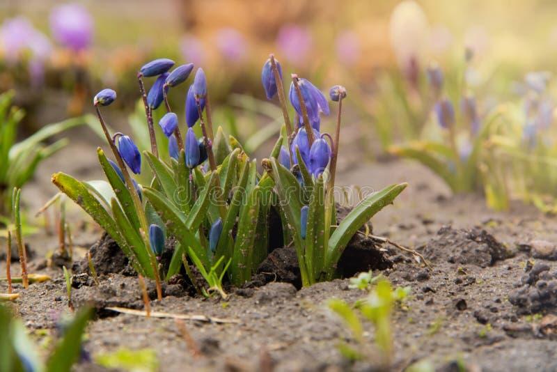 Een groep jonge blauwe scilla bloeit het ontspruiten op een bloembed op de achtergrond van purpere krokus en warme de lentezon stock foto's