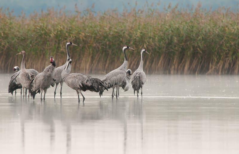 Een groep kranen die (Grus Grus) zich in het meerwater bevinden royalty-vrije stock afbeelding