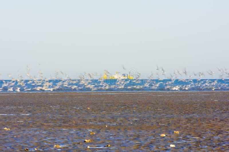 Een groep Larus-relictus het voederen het spelen op het strand, gaat van start royalty-vrije stock foto
