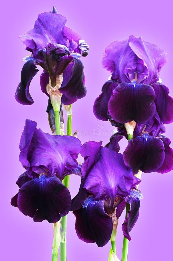 Een groep mooie Donkerpaarse Irissen op de lichte violette achtergrond royalty-vrije stock afbeeldingen