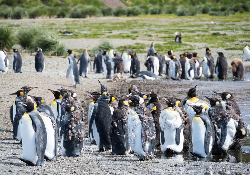 Een Groep Moulting Koning Penguins stock fotografie