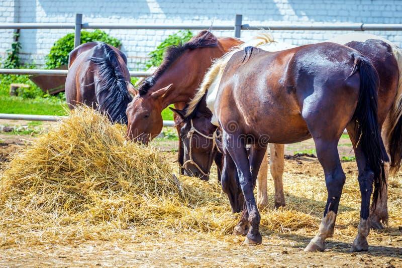 Een groep paarden die hooi in de straat in de yard eten royalty-vrije stock foto's