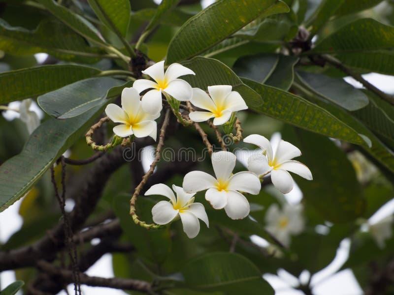 Een groep plumeria bloeit op de boom in Thailand, nadruk op Th stock fotografie