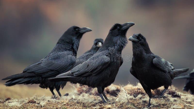 Een groep raven bevindt zich op de grond royalty-vrije stock afbeeldingen