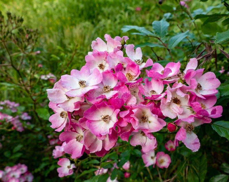 Een groep roze roze bloemen met witte en roze bloemblaadjes stock fotografie