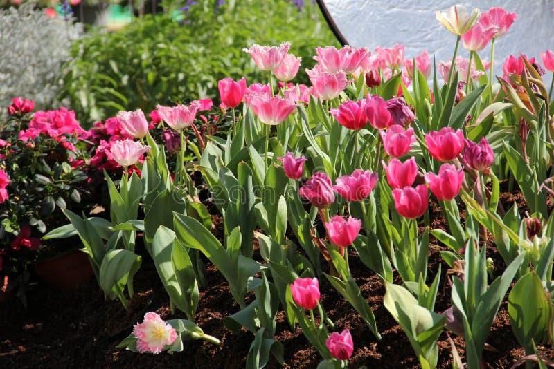 Een groep roze tulp in de tuin royalty-vrije stock afbeelding