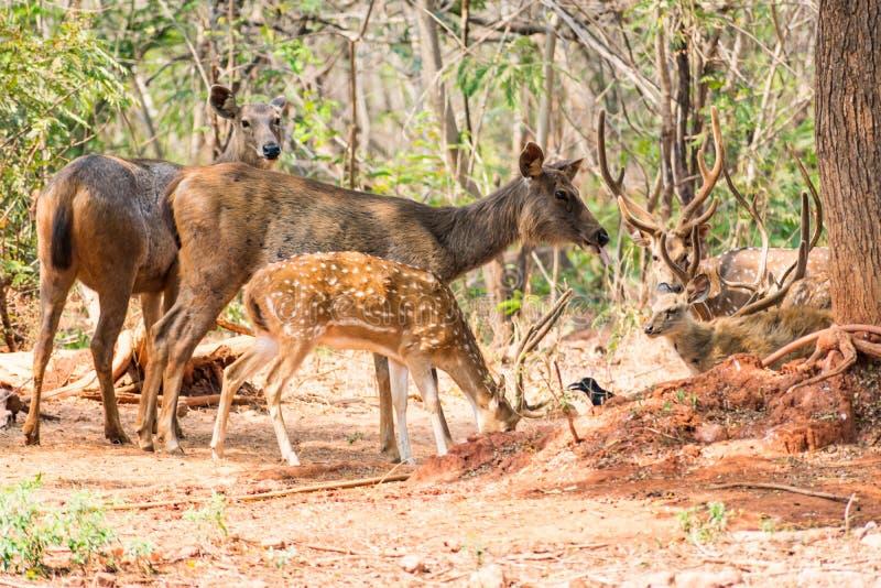 Een groep sambar herten die zich onder een boom bevinden & naar aan visititor kijken royalty-vrije stock afbeelding