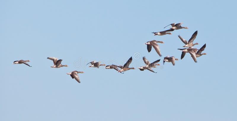 Een groep vliegende Greylag Ganzen royalty-vrije stock afbeeldingen