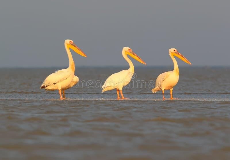 Een groep witte pelikanen rust op het ochtendzonlicht royalty-vrije stock foto's