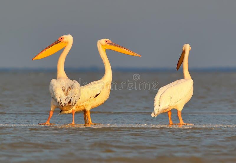 Een groep witte pelikanen rust op het ochtendzonlicht stock fotografie