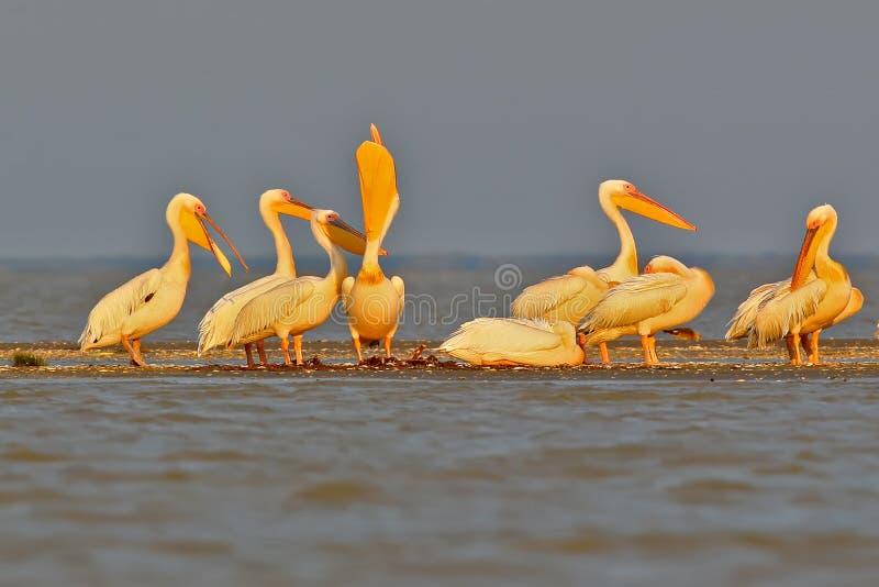 Een groep witte pelikanen rust op het ochtendzonlicht royalty-vrije stock foto
