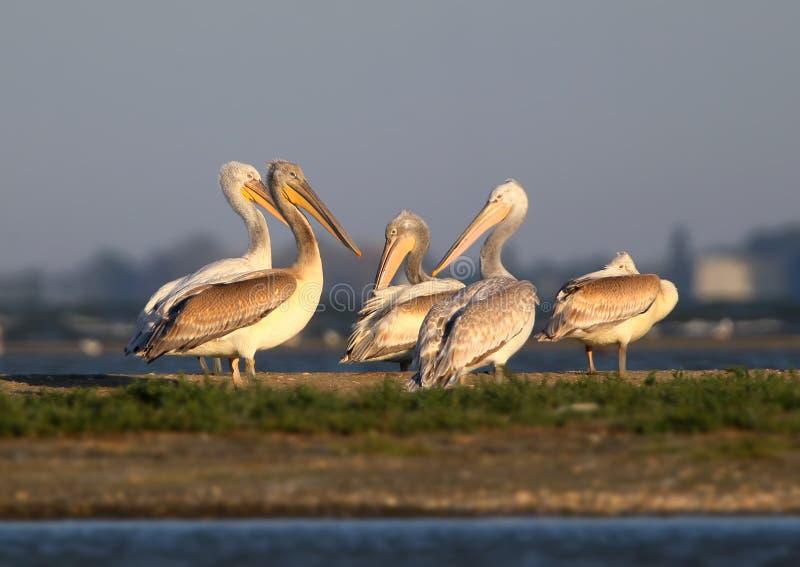 Een groep witte pelikanen rust op het ochtendzonlicht stock foto's