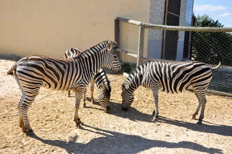Een groep zebras in het Dierlijke Park van Friguia. Hammamet, Tunesië. royalty-vrije stock foto