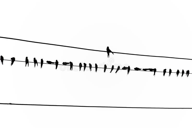 Een groot aantal vogels is op de machtslijn Op plattelandsgebieden, in zonsondergangtijd stock illustratie