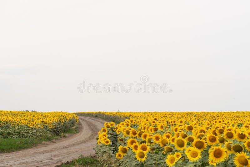 Een groot gebied van zonnebloemen en de weg op een bewolkte dag stock foto's