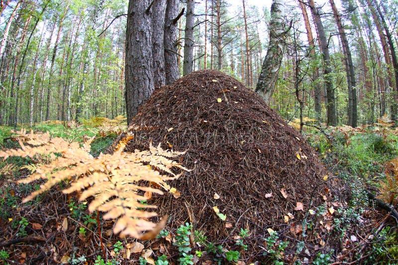 Een groot mierenhoopclose-up tegen een het ooglens van pijnboom bosvissen stock foto's