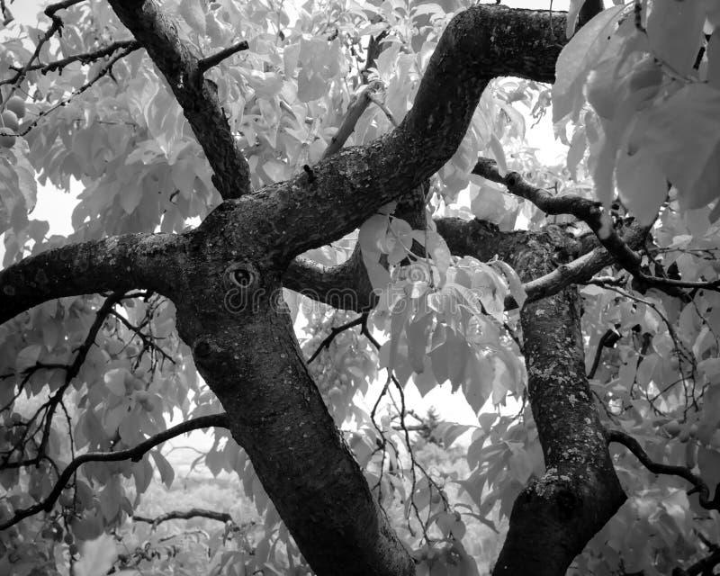 Een groot, oud mos behandelde kersenboom apears om een gedeeltelijk overwoekerde knoop te hebben die apears een oog zijn in infra royalty-vrije stock fotografie