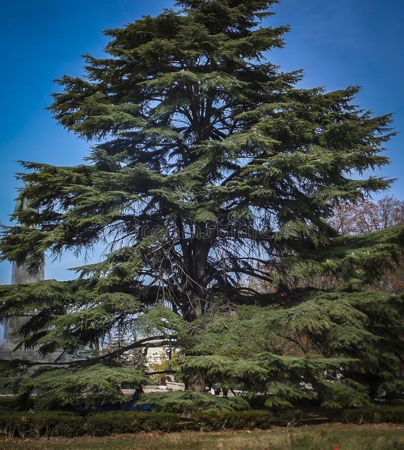 Een groot voorbeeld van een een mooie grote en oude Cedar Tree Cedrus-libani of Ceder van Libanon stock afbeelding