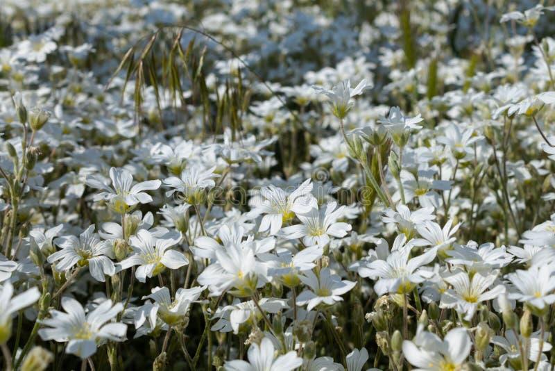 Een grote aanplanting van dicht het kweken van bloeiende witte bloemen in een bloembed dichtbij het huis stock afbeelding
