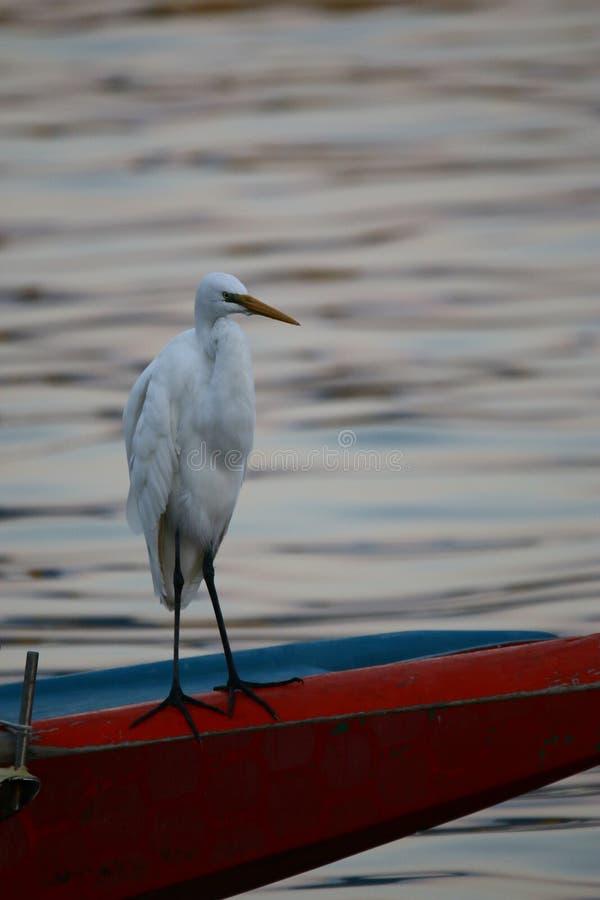 Een grote aigrette die zich op boot het nemen rust en het vinden van voedsel bevinden royalty-vrije stock fotografie