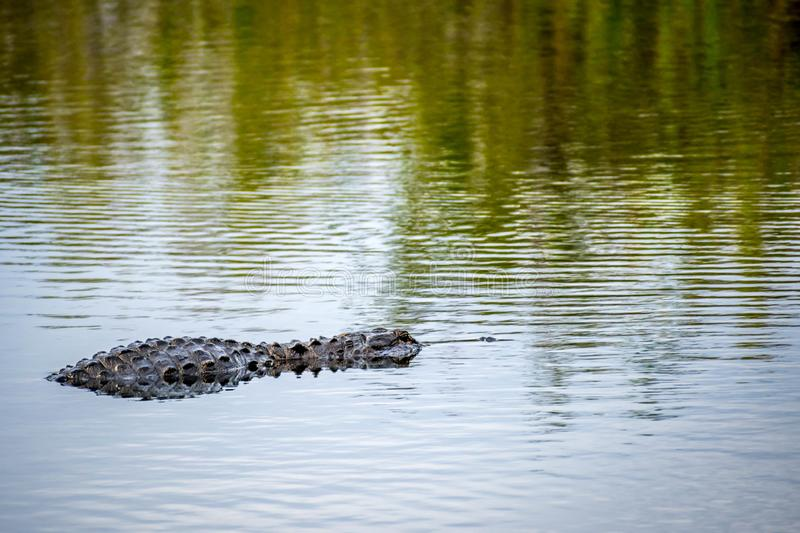 Een grote Amerikaanse Alligator in het Nationale Park van Everglades, Florida stock foto