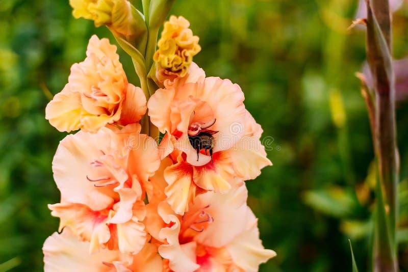 Een grote bij verzamelt nectar op een oranje gladiool stock foto