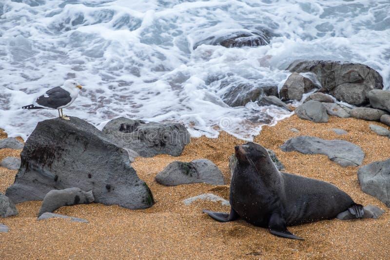 Een grote bontverbinding die op het zandige strand rusten Geniet van een dichte ontmoeting met hen in hun natuurlijke habitat op  royalty-vrije stock afbeeldingen