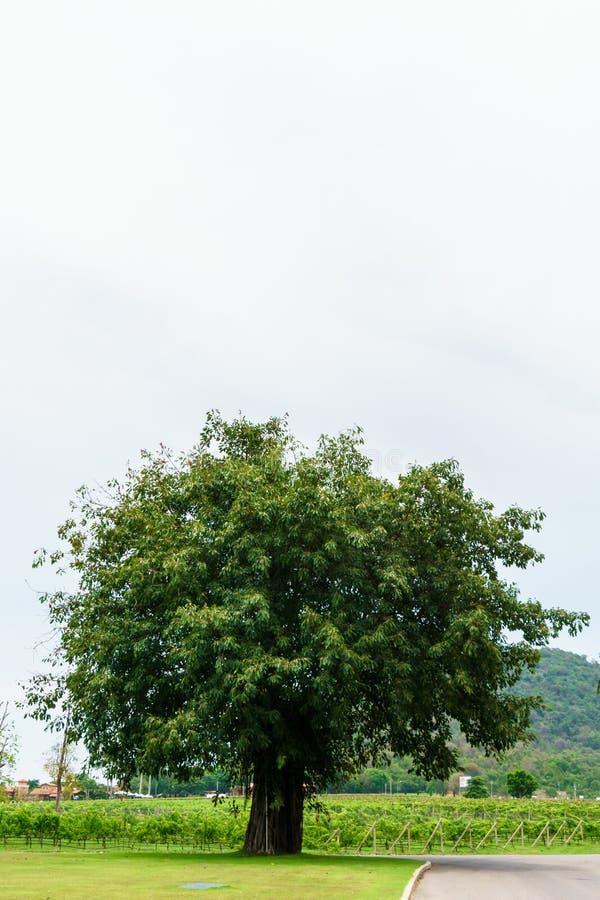 Een grote boom op groen gras met witte hemel stock foto