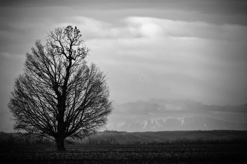Een grote boom zonder bladeren stock afbeeldingen