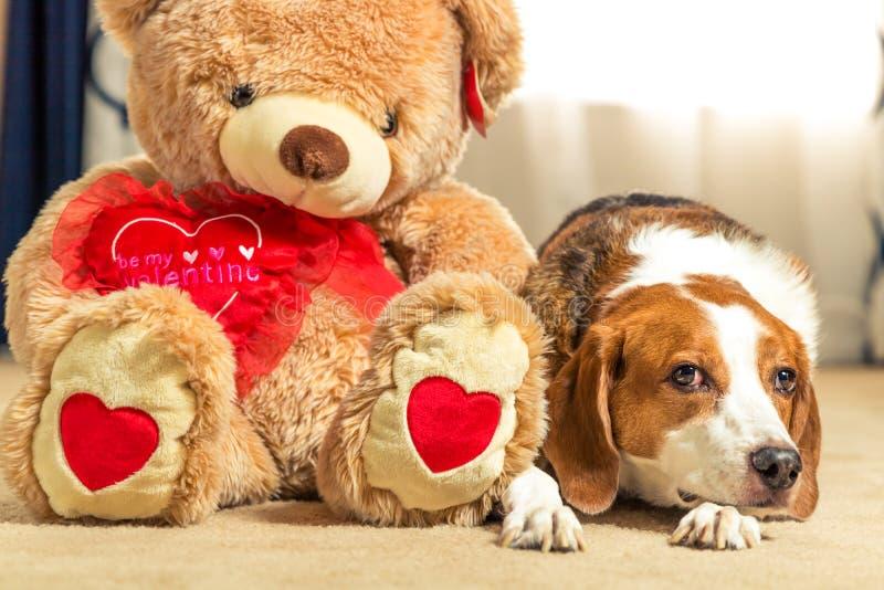 Een grote bruine teddybeer zit naast een schattige beagelhond stock afbeeldingen