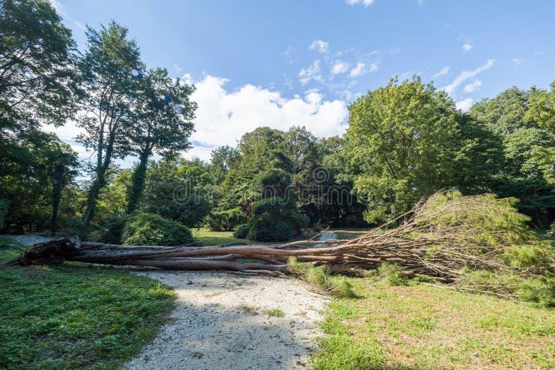 Een grote die pijnboomboom door een orkaan in een stadspark wordt gedumpt stock foto