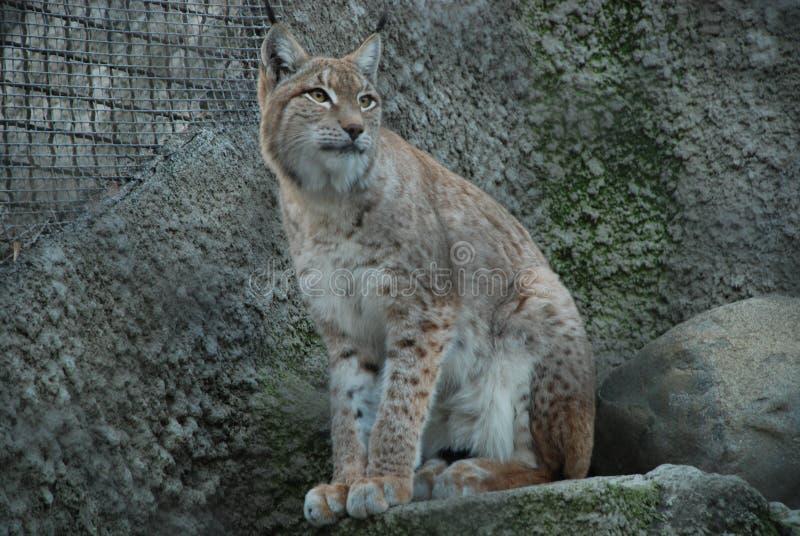 Een grote, dreigende, bevlekte lynx ziet aandachtig eruit stock afbeelding