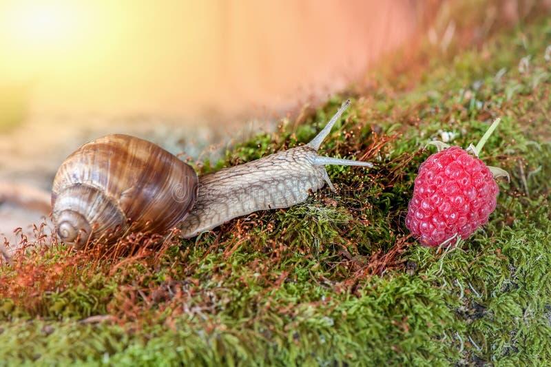 Een grote druivenslak kruipt op het mos aan de rijpe frambozenbes Zonnige dag stock foto